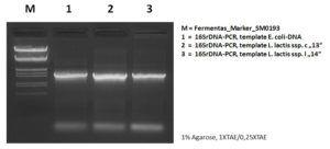 Abb._4_DNA-Banden_nach_einer_PCR