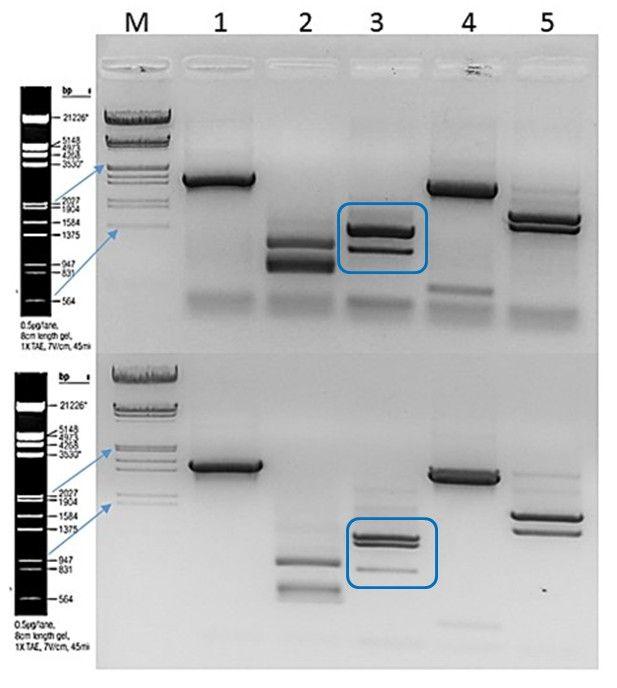 Abb._6_Vergleich_der_Milchsa776urebakterien_nach_ARDRA