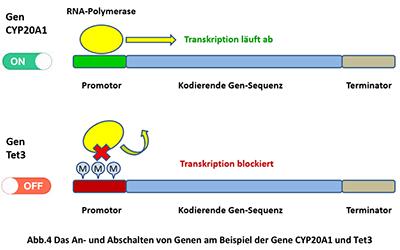 Abbildung 4: BTG Gene